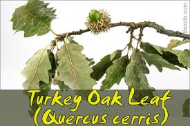Oak Tree Size Chart Oak Tree Leaf Identification Has Never Been Easier Than This