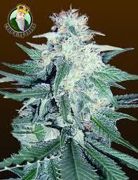 cbd cannabis canada
