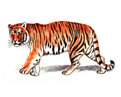 Амурский уссурийский тигр Красная книга Амурский тигр