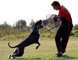 Giant Schnauzer Dog Breed Standards