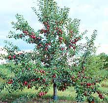 Perennial Power 5 Fruit And Nut Trees You Should Plant This Fall Fruit And Nut Trees