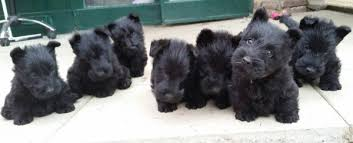 scottish terrier puppies. Unique Terrier Zomg Scottie Puppies On Scottish Terrier Puppies C