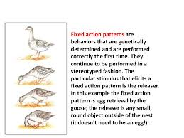Fixed Action Pattern Example Inspiration Innate Behavior Helps An Individual To Survive To Reproduce When