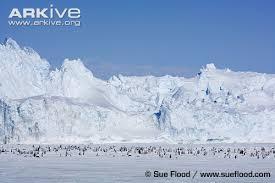 emperor penguin habitat. Interesting Habitat Emperor Penguin Colony In Habitat To Penguin Habitat U