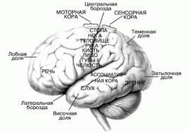 Реферат ukrubekaz human brain memory память человека