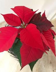 Weihnachtsstern Weiss Schwarz