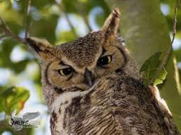 North American Owls Owling Com