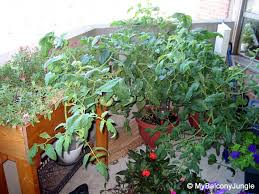 how not to support a tomato plant