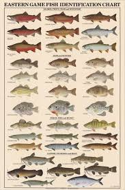 Catfish Chart Eastern Game Fish Identification Posters Freshwater Fish