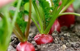 Kết quả hình ảnh cho củ cải đỏ là loại cây có thể trồng quanh năm, có màu sắc đẹp mắt, lại không cần quá nhiều đất, có thể trồng trong các chậu, bồn nhỏ. trồng củ cải đỏ tại nhà vừa có rau sạch lại có thể trang trí ngôi nhà thêm nhiều màu sắc, không gian sống thêm xanh. để trồng củ cải đỏ tốt, chúng ta cần quan tâm đến yếu tố quan trọng nhất, đó là giống.