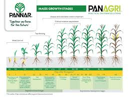 Wheat Growth Stages Chart Pannar Seed