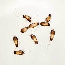 Baby Roaches Are Dangerous What You Need To Do Now Pests Off