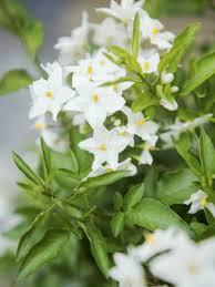 potato vine flower. Perfect Flower Potato Vine For Vine Flower O