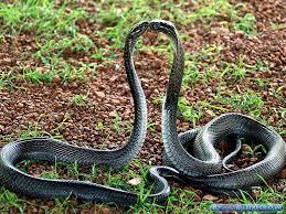 cobra snake wallpaper hd. Fine Cobra Cobra Snake Photos Inside Wallpaper Hd N