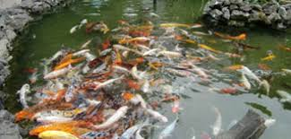 how to clean a koi pond. Interesting Koi How To Clean A Koi Pond In To A N