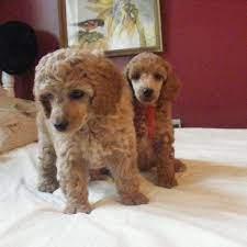 mini poodle puppies at marjo poodles