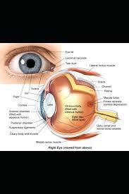Eyelid Anatomy Upper Eyelid Anatomy Parts Of The Diagram Oasissolutions Co