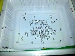 get rid of small ants get rid of small ants small ants in house how to get rid tiny ants in how to get rid of small ants in kitchen sink