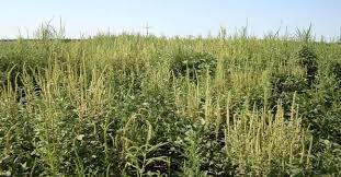 Palmer Amaranth Palmer Amaranth Weed Control Agronomy Sunflower District