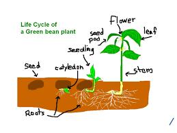 Green Bean Growth Chart Life Cycle Of A Green Bean Plant Life Cycle Showme
