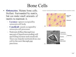 A mature bone cell
