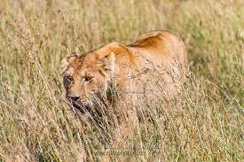 lioness stalking in grass. Plain Lioness Lioness Stalking Warthog And Walking In A Low Crouch Through Long Savanna  Grass Of The Masai Throughout Stalking In Grass