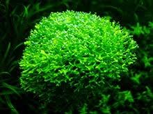 Аквариумные <b>растения</b> - более 400 видов с названиями, фото и ...