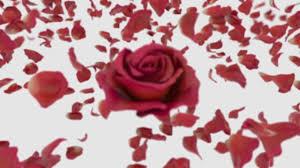 30 free pink rose pink videos hd