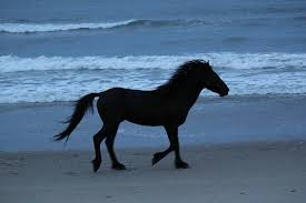 beautiful wild horses on the beach. Wild Horse Adventure Tours Beautiful Hores Running On The Beach Throughout Horses