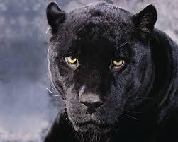 normal 5 4 resolutions 1280 x 1024 original s black cheetah