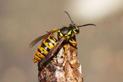 ground dwelling bees 1400 1 nuisance bees wasps planttalk coloradoplanttalk colorado