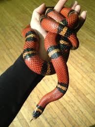 milk snake size milk snake facts and pictures reptile fact