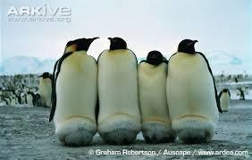 emperor penguin egg.  Penguin Emperor Penguins Keeping Chicks Warm Intended Penguin Egg I