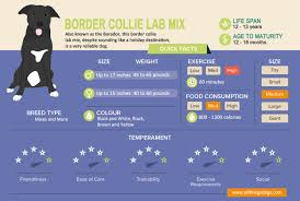 Dog Breed Exercise Chart Border Collie Lab Mix The Ultimate Guide To A Borador