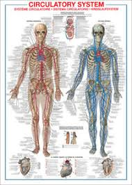 Details About The Circulatory System Human Body Anatomy Huge Wall Chart Reference Poster