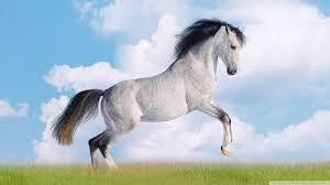 White Horse 高清晰度电视桌面图片High ...