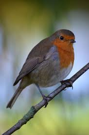 Robins Kitchen Garden City 17 Best Ideas About Red Breasted Robin On Pinterest American