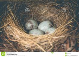 Small Light Blue Speckled Eggs Blue Bird Eggs Stock Image Image Of Nest Animal Purity
