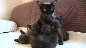 Brown <b>Burmese Kittens</b> 15 04 20 - YouTube