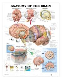 Anatomical Chart Posters Anatomy Of The Brain Anatomical Chart