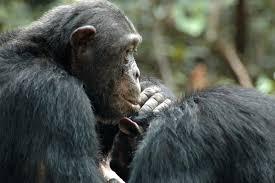 """Résultat de recherche d'images pour """"singe qui mange termite"""""""
