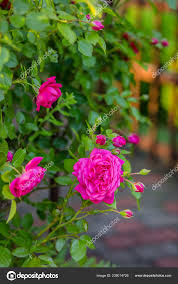 beautiful roses garden growing diffe varieties flowers gardening hobby stock photo