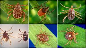 Cdc Tick Identification Chart Beware Of Ticks Heres How To Identify 6 Species Silive Com
