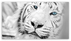 white tiger wallpaper hd 1080p. Fine White Download Lonely Tiger HD Wallpaper For White Hd 1080p L