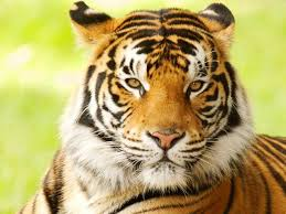 images of tigers. Interesting Tigers Bengal Tiger On Images Of Tigers