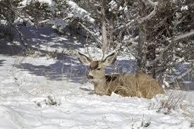 Get Bedded Mule Deer Buck Images