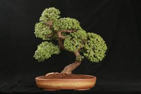 photo credit bonsai tree