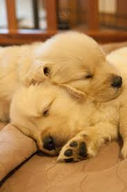 golden retriever puppies sleeping. Perfect Puppies Four Week Old Golden Retriever Puppies Sleeping Together Inside S