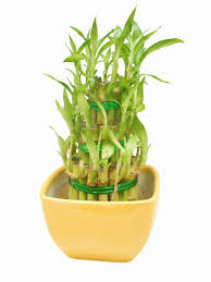 revive bamboo plant turning yellow best of 3 layer lucky bamboo with yellow ceramic pot