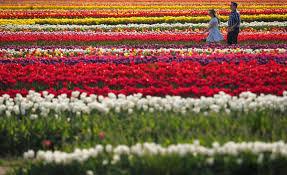 patti sapone nj advance media holland ridge farms tulip festival